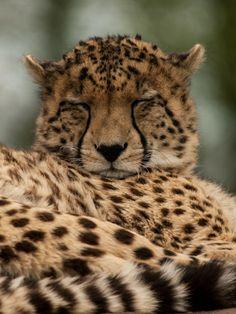 Cheetah | William Warby