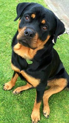 """Exceptional """"Rottweiler puppies"""" information is offered on our internet site. Read more and you wont be sorry you did. Rottweiler Dog Breed, Rottweiler Facts, German Rottweiler, Pets, Pet Dogs, Dog Cat, Doggies, Chihuahua Dogs, Cute Puppies"""