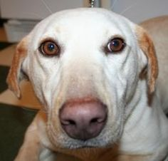 Anna Claire is an adoptable Yellow Labrador Retriever Dog in Killingworth, CT. Anna Claire was at the local kill shelter when we found her.  She is a mini lab that would be perfect for an apartment.  ...