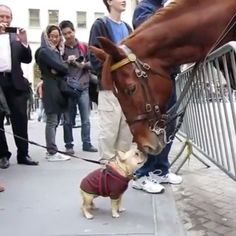 Frenchie horse kisses @luellathefrenchie