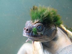 Threatened: A Green-Haired Turtle That Can Breathe Through Its Genitals - The New York Times