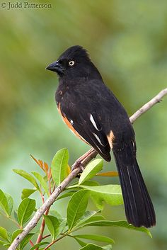 The eastern towhee (Pipilo erythrophthalmus) is a large New World sparrow. Their breeding habitat is brushy areas across eastern North America. They nest either low in bushes or on the ground under shrubs. Northern birds migrate to the southern United States.