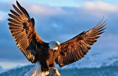 All types of eagle birds in the world with amazing facts. Eagles are some of the largest birds. They are at the top of the food chain, with some species feeding on big prey like monkeys and sloths. Eagle Images, Eagle Pictures, Exotic Birds, Colorful Birds, Different Types Of Eagles, Powerful Pictures, Eagle Art, Golden Eagle, Birds Of Prey