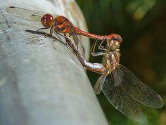 Blodrød høstlibelle,Sympetrum sanguineum