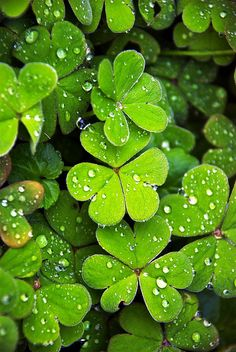 """Raining"" by howzey on Flickr - Rain on Clover leaves in the garden"