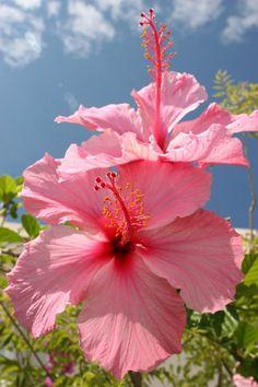 pink hibiscus - sea sand sun