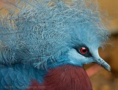 blue crowned pigeon - Google Search