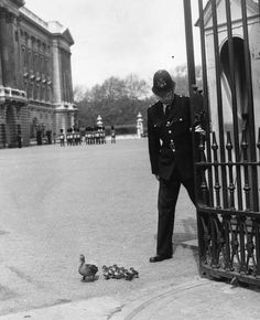 A Police Constable opens the South-Centre Gate at Buckingham Palace to allow a duck & her ducklings to move from the Palace gardens to St James Park. Not a posed shot - I did the same myself many times when stationed at Buckingham Palace in the early 1980's.