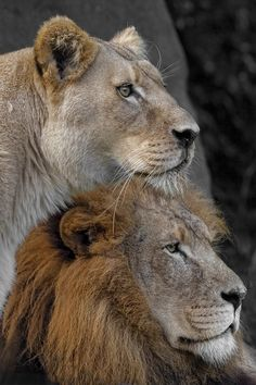 ~~Royalty ~ Lion and Lioness by David Pearce~~