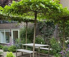 Roof-trained mulberry tree. Now there's a pergola.