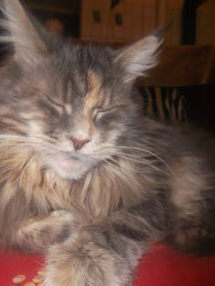 Maine coon girl, blue cream