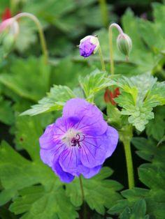 Trädgårdsnäva, Geranium 'Rozanne' - Stora blålila blommor med vitt öga och mörka strim-mor. Mycket blomvillig under lång tid. Tätt, rundat och marktäckande växtsätt. Breder ut sig rejält. En av de bästa nävorna som introducerats under senare år. Blommar juli-oktober.