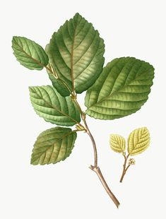 Tree Illustration, Botanical Illustration, Fuchsia Plant, Rosemary Herb, Honey Locust, Strawberry Plants, Plant Painting, Leaf Background, Tejido