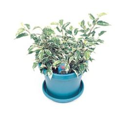 Want to know how to grow ficus? Get tips for caring for this indoor plant, including how to water ficus and more. It's one of the best houseplants! Ficus, Dwarf, Houseplants, Indoor Plants, Planter Pots, Gardening, Inside Plants, Indoor House Plants, Lawn And Garden