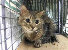 SAFE! TO BE DESTROYED 1/12/14- Panini is a beautiful, kind, loving soul who needs only a caring person at her side. Manhattan Center My name is PANINI. My Animal ID # is A0988965. I am a female brn tabby maine coon mix. The shelter thinks I am about 3 YEARS old. I came in the shelter as a STRAY on 01/07/2014 from NY 10025, owner surrender reason stated was STRAY. https://www.facebook.com/photo.php?fbid=730636760281492&set=a.576546742357162.1073741827.155925874419253&type=1&relevant_count=1