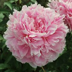 Peony 'Ensign Moriarity'