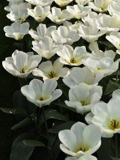 Med sin gräddvita färg, med en svagt gul ton mot basen, erbjuder den en fin kontrast i färgstarka planteringar.En välkänd tulpan i Fosteriana-Gruppen, också benämnd Kejsartulpaner, sprungna från bergsområden i centrala Asien.Blommar i april-maj och blir cirka 45 cm hög. Ett annat namn för den här tulpanen är 'White Emperor'. Långlivad.'Purissima' är vacker tillsammans med vit löjtnantshjärta, Lamprocapnos spectabilis 'Alba', och vit sockblomma, Epimedium x youngianum 'Niveum'. Innehåller 5…