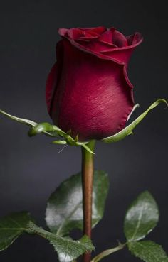 one rose. Image Nature Fleurs, Flowers Nature, My Flower, Pretty Flowers, Foto Rose, Flower Wallpaper, Rose Buds, Beautiful Roses