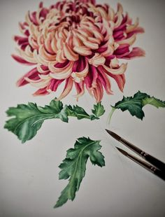 Japanese Chrysanthemum - Botanical Portrait by Eunike Nugroho, via Behance Japanese Chrysanthemum, Japanese Flowers, Japanese Art, Art And Illustration, Botanical Illustration, Watercolor Flowers, Watercolor Paintings, Watercolors, Still Life