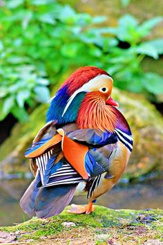 Exotic pets 329536897733821477 - Mandarin Duck in all its colorful glory Source by travertmichle Canard Mandarin, Mandarin Duck, Nature Animals, Animals And Pets, Cute Animals, Exotic Birds, Colorful Birds, Exotic Pets, Tropical Birds