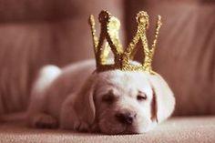 Queen's Puppy