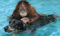 Ungewöhnliche Tierfreundschaften - Orang Utan und Hund