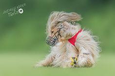 Mein persönliches Highlight beim Tag des Hundes war das Windhundeschaurennen. Eine geballte Ladung Eleganz verbunden mit der Leidenschaft für den Rennsport – der Afghanische Windhund. Animal Photography, Auto Racing, Passion, Pet Dogs, Animales