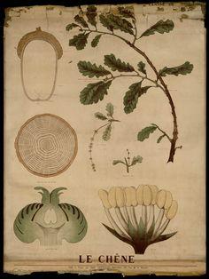Le Chêne - Deyrolle