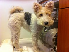 """DishWashi"" Post-dinner rituals.  - Washington, the Wire Fox Terrier"