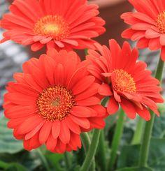 Garvinea Sweet Glow® Gerber Daisy - Monrovia - Garvinea Sweet Glow® Gerber Daisy