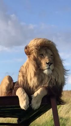 Wallpapers of Lion Lion Images, Lion Pictures, Animal Pictures, Animals And Pets, Baby Animals, Cute Animals, Wild Animals, Beautiful Cats, Animals Beautiful