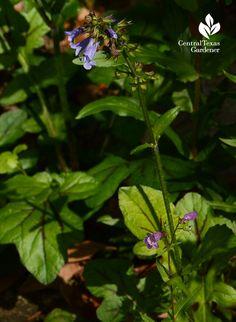 Salvia lyrata Central Texas Gardener