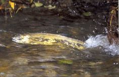 Enjoy a day at Carkeek Park and take in the wonder that is the annual Salmon Run as salmon return to their home streams to spawn.