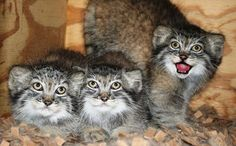 Three healthy Pallas' Cat kittens (two males and one female) were born on June 8th, 2011 at the Cincinnati Zoo & Botanical Garden following a laparoscopic oviductal artificial insemination (AI) procedure conducted by scientists from the Cincinnati Zoo's Center for Conservation and Research of Endangered Wildlife (CREW). This pregnancy and birth are the first ever in Pallas' Cats from artificial insemination.