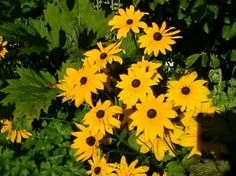 bunch of sunflower!!!!!