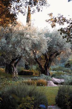 Olive tree garden design ideas ideas for 2019 Backyard Trees, Garden Trees, Garden Path, Napa Valley, Garden Landscape Design, Garden Landscaping, Provence Garden, Baumgarten, Old Trees