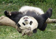 A vida da raça dos ursos panda