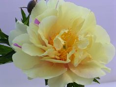 Lemon Dream peony. An Intersectional Itoh peony sometimes sporting a bit of lavender. Easy to grow in USDA zones 2-8. Buy it online at Brooks Gardens.