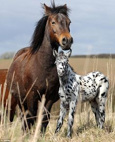 1 wk old Pongo with his dam, a Dartmoor Pony -- his sire is a British Spotted Pony