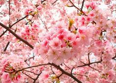 national flower of japan cherry blossom