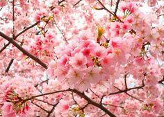national flower of japan cherry blossom