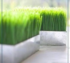 How to Grow Grass Indoors - sprouts in 4 days ready to trim in 10 days. Beautiful center piece for Easter