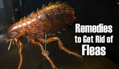 10 Home Remedies To Get Rid Of Flea Infestation...http://homestead-and-survival.com/10-home-remedies-to-get-rid-of-flea-infestation/
