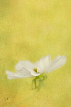 White cosmos taken with a Lensbaby Velvet 56. Painterly textures applied (Kathleen Clemons and French Kiss) in Photoshop. Fine Art Prints and notecards are available.