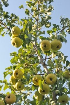 Possible fruit tree #1 - Pear tree