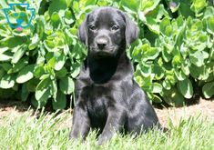 This Black Lab puppy loves to be around people so much that she will surely be your shadow once you get her home. She loves running & playing with her Black Puppy, Black Lab Puppies, Baby Puppies For Sale, Dogs And Puppies, Black Labs For Sale, Black Labrador Retriever, Mans Best Friend, Puppy Love, Cute Babies