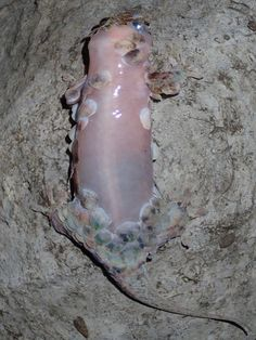 Como si fuera un striptease, cuando siente el peligro, este lagarto se desnuda, es decir, pierde su piel como por ensalmo, dejando así en la boca de sus depr...