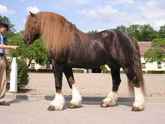 A Českomoravský belgik, or Czech-Moravian Belgian Draft stallion named Agar