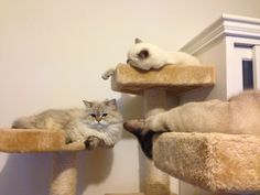 Le miaoutrio ! Ivana, Jolie Poupée et Chamallow - #british #britishcat #britishshorthair #britishlonghair #britishlovers #britivana #cute #cat #cats #chat #chats #catlovers #love #loof #lovely #colorpoint #colourpoint #heart #beauty #beaute #socute #cuteness #amazing #france #cattery #chatterie #kitten #kitty #fluffy #fluffycat #fluffyball #moelleux