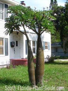 Madagascar Palm  Pachypodium lamerei
